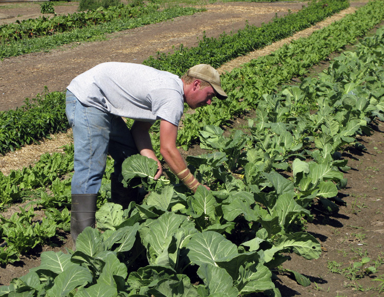A farmer picking leafy greens from the ground